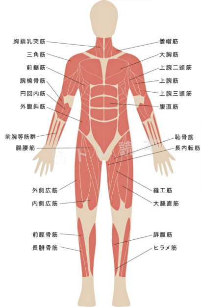 鍛えられる筋肉イメージ図(表1)