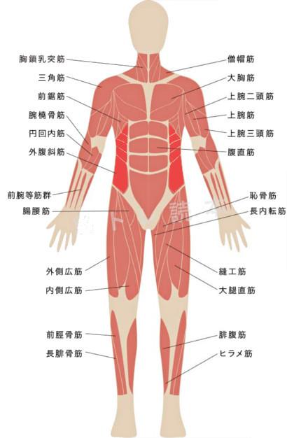 サイドベントで鍛えられる筋肉イメージ図