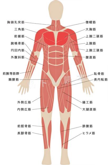 ベンチプレスで鍛えられる筋肉イメージ図