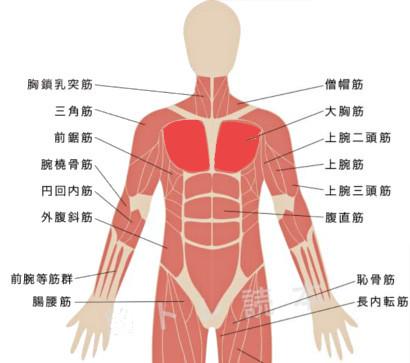 大胸筋イメージ図