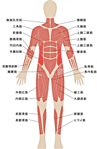 腹斜筋イメージ図
