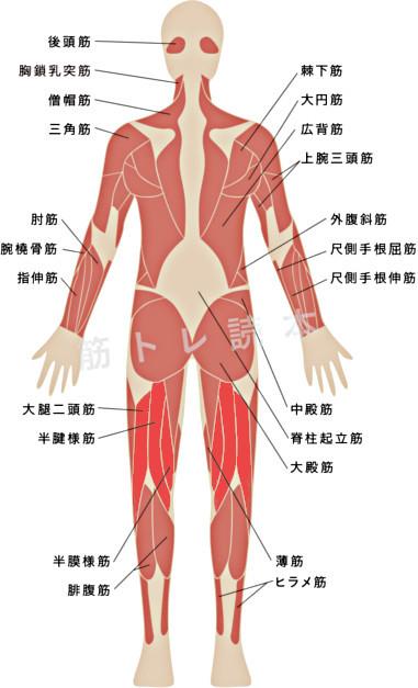 グルートハムレイズで鍛えられる筋肉イメージ図
