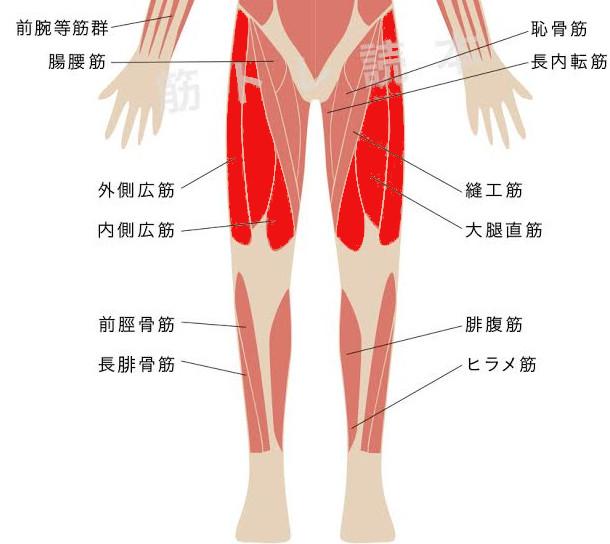 大腿四頭筋イメージ