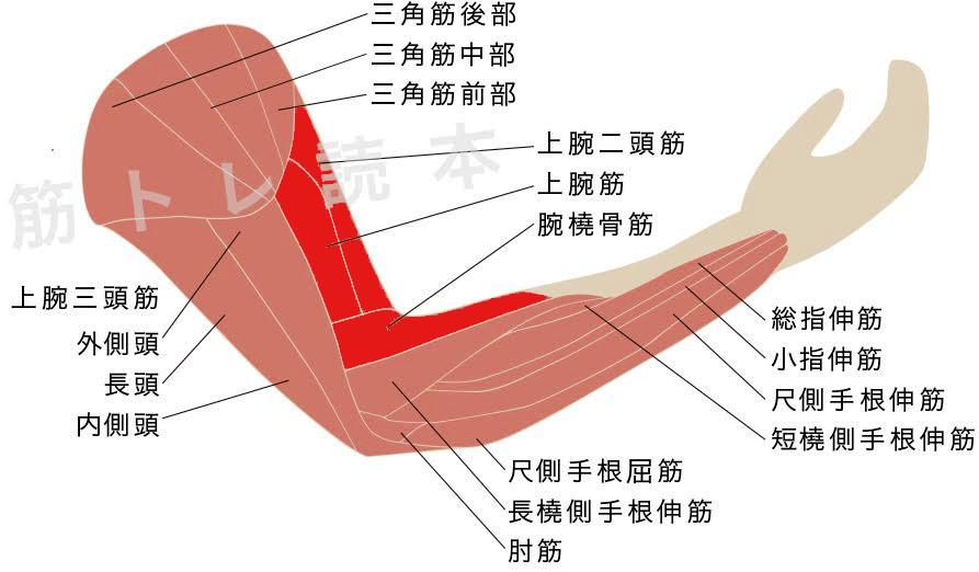 アームカールで鍛えられる筋肉イメージ図