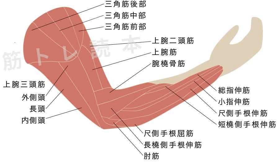 腕の筋肉イメージ図