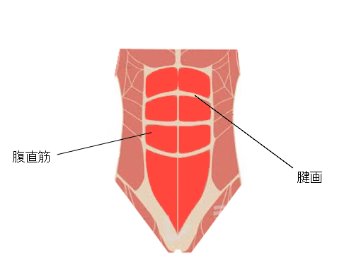 腹筋の構造、腱画
