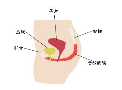 骨盤底筋イメージ図