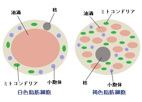 白色脂肪細胞と褐色脂肪細胞の違い