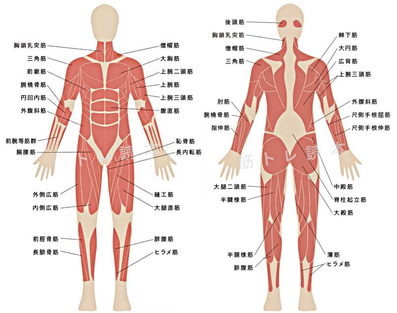人間の主要な筋肉イメージ図