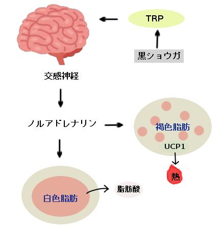 黒生姜がエネルギー消費を増大させる仕組み'(黒生姜→TRP→脳→交感神経→ノルアドレナリン→褐色脂肪→熱生産増大)
